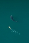 Click to see details of Whale shark (Rhincodon typus) - aerial of immature with snorkell