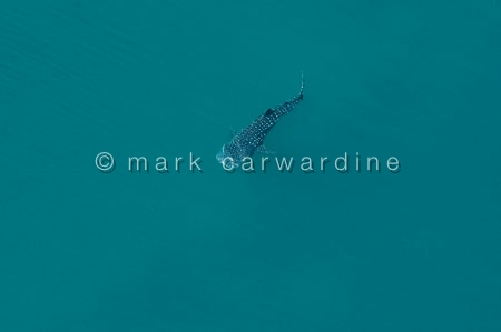 Whale shark (Rhincodon typus) - aerial of immature
