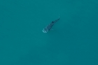 Click to see details of Whale shark (Rhincodon typus) - aerial of immature