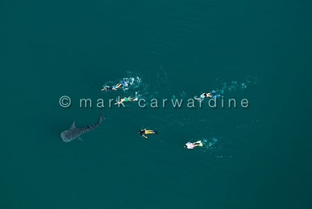Whale shark (Rhincodon typus) - aerial of immature with snorkell