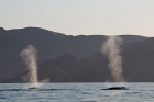 Click to see details of Blue whales (Balaenoptera musculus) - blowing (spouting)