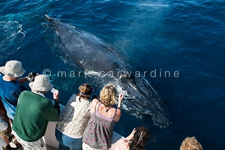 Humpback whale (Megaptera novaeangliae) with whale watchers