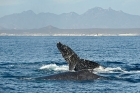Click to see details of Humpback whales (Megaptera novaeangliae)