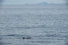 Click to see details of Dwarf sperm whale (Kogia sima)