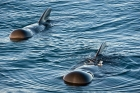 Click to see details of Short-finned pilot whales (Globicephala macrorhynchus)