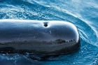Click to see details of Short-finned pilot whale (Globicephala macrorhynchus)