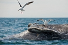 Click to see details of Dead grey whale (Eschrichtius robustus)