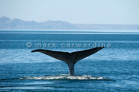 Blue whale (Balaenoptera musculus) - fluking (diving)