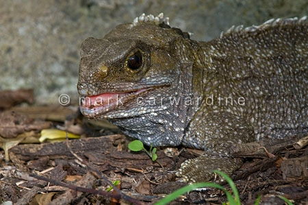 Brother's Island tuatara (Sphenodon guntheri)
