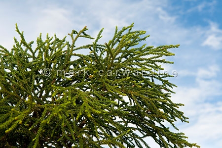 Rimu tree or red pine (Dacrydium cupressinum)