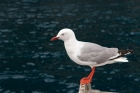 Click to see details of Red-billed gull (Larus novaehollandiae)