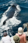 Click to see details of Humpback whale (Megaptera novaeangliae) with whale watchers