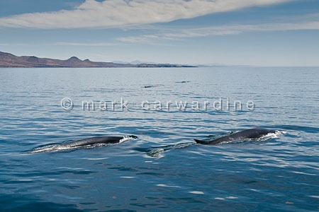 Fin whales (Balaenoptera physalus)