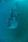 Click to see details of Whale shark (Rhincodon typus) - underwater
