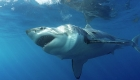 Click to see details of Great white shark (Carcharodon carcharias)