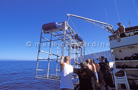 Cage-diving for great white sharks