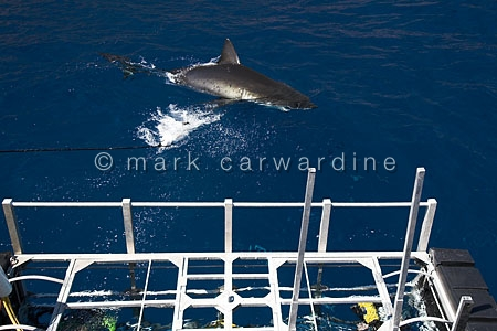 Cage-diving with great white shark (Carcharodon carcharias)