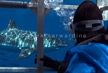 Great white shark (Carcharodon carcharias) from inside a shark-w