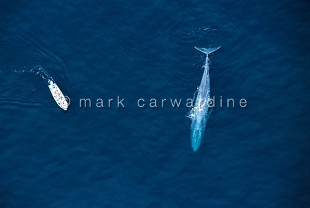Blue whale mother (Balaenoptera musculus) with research boat