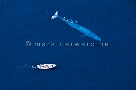 Blue whale (Balaenoptera musculus) with research boat