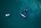Click to see details of Southern right whales (Eubalaena australis) with whale-watching