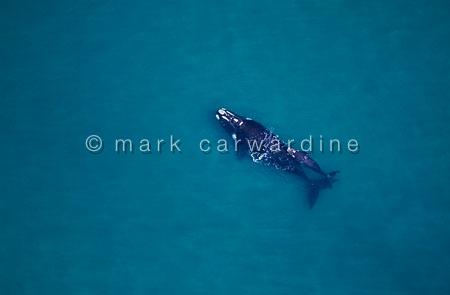 Southern right whale mother and calf (Eubalaena australis)