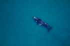 Click to see details of Southern right whale mother and calf (Eubalaena australis)