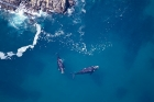 Click to see details of Southern right whale (Eubalaena australis)