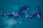 Click to see details of Southern right whales (Eubalaena australis)