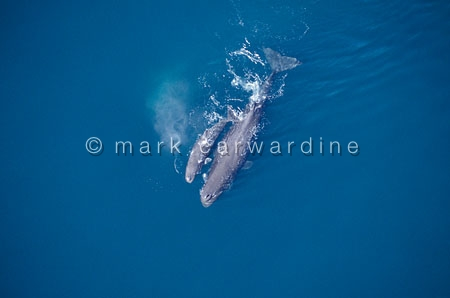 Sperm whale mother and calf (Physeter macrocephalus)