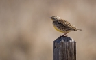 Click to see details of Western meadowlark (Sturnella neglecta)