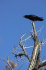 Click to see details of Common raven (Corvus corax)