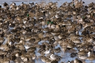 Click to see details of Mallard (Anas platyrhnchos) and northern pintail (Anas acuta)