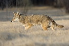 Click to see details of Coyote (Canis latrans)