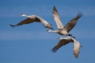 Click to see details of Sandhill cranes (Grus canadensis)