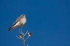 Click to see details of American kestrel (Falco sparverius)