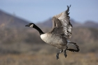 Click to see details of Canada goose (Branta canadensis)