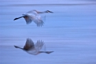 Click to see details of Sandhill crane (Grus canadensis)