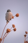 Click to see details of Loggerhead shrike (Lanius ludovicianus)