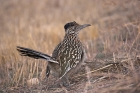 Click to see details of Greater roadrunner (Geococcyx californianus)