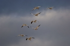 Click to see details of Snow geese (Chen caerulescens)