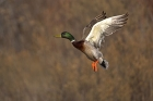 Click to see details of Mallard (Anas platyrhynchos)