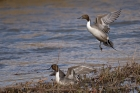 Click to see details of Northern pintails (Anas acuta)