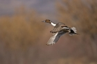 Click to see details of Northern pintail (Anas acuta)