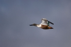 Click to see details of Northern shoveler (Anas clypeata)