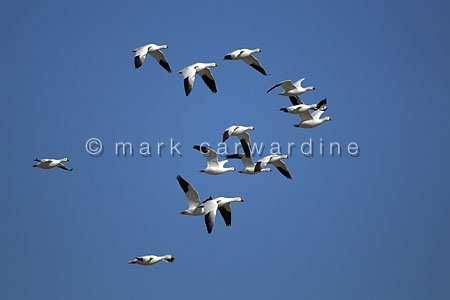 Snow geese (Chen caerulescens)