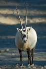 Click to see details of Arabian oryx (Oryx leucoryx)