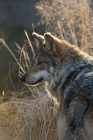 Click to see details of Mexican wolf (Canis lupus baileyi)