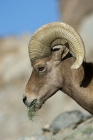 Click to see details of Bighorn sheep (Ovis canadensis)