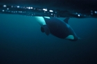 Click to see details of Killer whale or orca (Orcinus orca) underwater